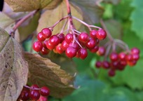 Category_viburnum_2665911_960_720