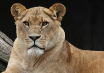Category_lion_341717_960_720