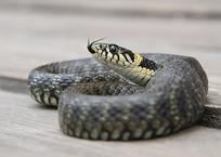 В Гулькевичах две змеи заползли в спальню в частном доме, фото — «Рекламы Гулькевичей»