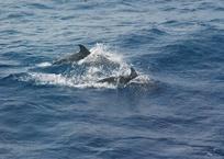 Дельфины устроили настоящее шоу для рыбаков в аккватории Сочи ВИДЕО 12+, фото — «Рекламы Тимашевска»