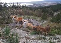 В Геленджике собаки корги усыновили волчат ВИДЕО, фото — «Рекламы Геленджика»