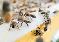 Ущерб от массовой гибели пчел на Кубани и в других регионах составит триллион рублей, фото — «Рекламы Адлера»