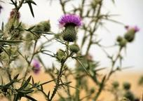Category_thistle_4369414_340