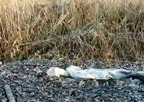 В Гулькевичах местный житель обнаружил несколько сотен выброшенных карасей, фото — «Рекламы Гулькевичей»