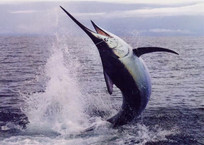 Осторожно - ртуть: список рыб, которых геленджичанам есть не стоит   , фото — «Рекламы Геленджика»