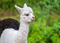 В сафари-парке в Геленджике родился детеныш альпаки, фото — «Рекламы Кубани»