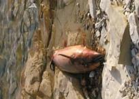 Жители Геленджика показали покрытый мазутом пляж с мертвыми дельфинами, фото — «Рекламы Геленджика»