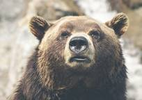 Category_brown_bear_423202_1280