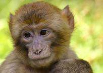 СМИ: в Сочи обезьяна уличного фотографа укусила ребенка, фото — «Рекламы Геленджика»