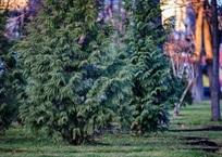 Где и за сколько купить елку в Краснодаре , фото — «Рекламы Кубани»