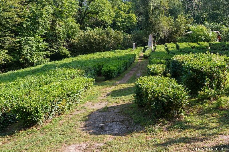Чай выращивают в краснодарском крае белореченский