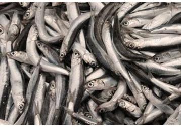 Рыба на Кубани - КРК ИП Захарчук «Керченская рыбная компания», только качественная продукция!, фото — «Реклама Кубани»