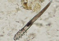 Category_demodex