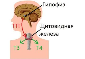 Где сдать анализ ТТГ (тиреотропный гормон) в Адлере, фото — «Реклама Адлера»