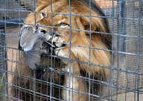 Category_lion_meal_06