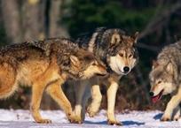 Крымчан в сумерках вместо автобусов ждут волки, фото — «Рекламы Красноперекопска»