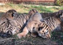 Полосатый беби-бум: в крымском зоопарке родились сразу шесть амурских тигрят ФОТО, ВИДЕО, фото — «Рекламы Щелкино»