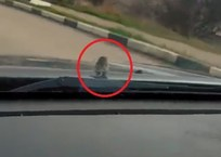 #Вероникадержись: по Севастополю ездит автомобиль с мышей-пассажиром на капоте (ВИДЕО), фото — «Рекламы Севастополя»