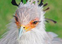 Category_ptica-sekretar-foto