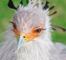Mini_ptica-sekretar-foto