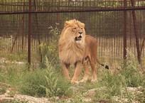 В крымском сафари-парке «Тайган» лев покусал женщину, фото — «Рекламы Гурзуфа»