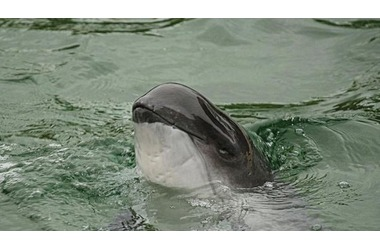 У берегов Крыма массово гибнут осетровые и дельфины, фото — «Рекламы Фороса»