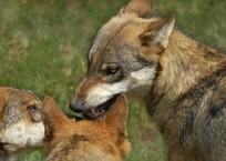 Стрелять, нельзя помиловать: Количество волков в Крыму уменьшат в 4,5 раза, фото — «Рекламы Крыма»