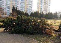 С улиц Севастополя воруют сакуры, туи, кипарисы и можжевельник, фото — «Рекламы Севастополя»
