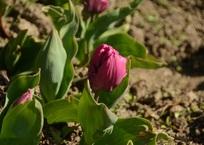 Проклюнулись первые участники двенадцатого по счёту Парада тюльпанов в Никитском саду ФОТО, фото — «Рекламы Фороса»