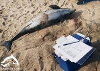 Запутались в сетях браконьеров: В Крыму на берег вынесло почти два десятка мертвых дельфинов, фото — «Рекламы Фороса»