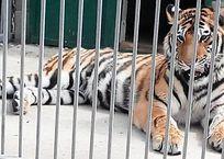 В Крыму расследуют смерть в зооуголке молодого тигра, фото — «Рекламы Симферополя»