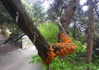 В Симеизе можжевельники покрылись ржавчинным грибком ФОТО, фото — «Рекламы Партенита»