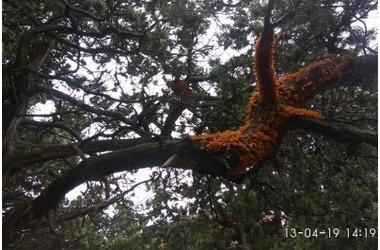 Губительная «ржавчина» убивает можжевельники на ЮБК ФОТО, фото — «Рекламы Алупки»
