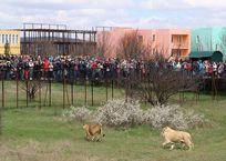 В крымском зоопарке львов разгоняли тапком ФОТО, ВИДЕО, фото — «Рекламы Фороса»