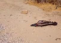 Жители Крыма сообщают о незаконной продаже вяленого мяса дельфинов, фото — «Рекламы Ялты»
