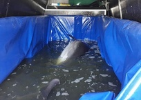 Алуштинские дельфины находятся критическом состоянии: их 2 месяца держат в «тазиках», фото — «Рекламы Ялты»