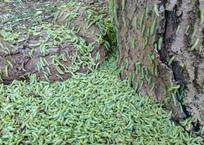 Севастопольцы сообщают о нашествии зеленых гусениц ФОТО, фото — «Рекламы Севастополя»