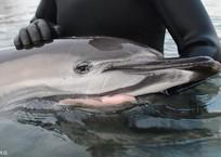 Он испытывал боль при каждом движении: В Севастополе волонтеры спасли дельфина-белобочку, запутавшегося в сетях, фото — «Рекламы Севастополя»