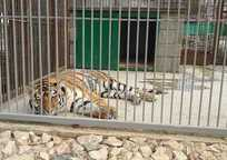 Category_simferopol_zoougolok_tigr
