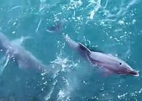 Моряки сняли, как охотятся дельфины под Крымским мостом, фото — «Рекламы Феодосии»