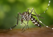Top_news_tiger-mosquito-49141_960_720