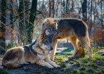 Дважды за день: в Крыму волк напал на троих людей, фото — «Рекламы Ялты»