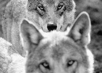 Напавший на людей в Крыму волк был болен бешенством, фото — «Рекламы Алушты»