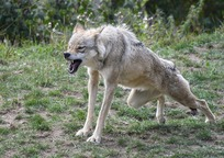 Category_wolf-2872222_960_720