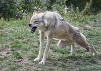 «Схватил за челюсть и завалил»: в Крыму бывший десантник голыми руками задушил волка, фото — «Рекламы Алупки»
