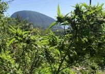 Ялтинец обустроил огород с коноплей с видом на Аю-Даг, фото — «Рекламы Алупки»