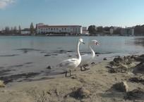 В Севастополь на зимовку прилетели лебеди, фото — «Рекламы Севастополя»