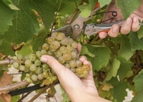 В Севастополе собран рекордный урожай винограда, фото — «Рекламы Севастополя»