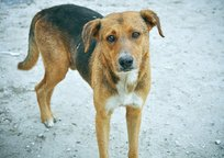 Category_1415254522_stray-dogs-ust-kamenogorsk