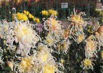 В Крыму выбрали самый красивый цветок ежегодного Бала хризантем ФОТО, фото — «Рекламы Белогорска»